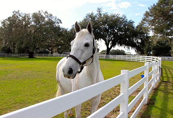 Ocala Florida horses White Horse