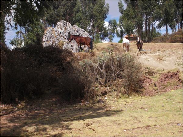 cusco outfitters horses graze iin pasture in peru