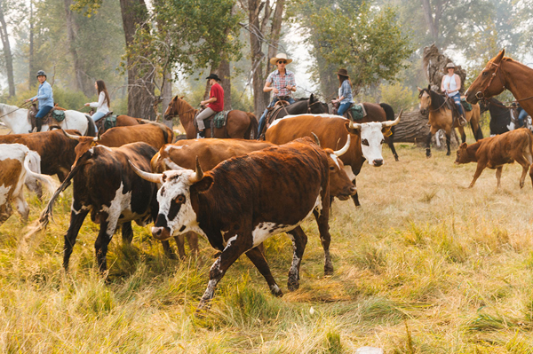 paws up resort sorting cattle