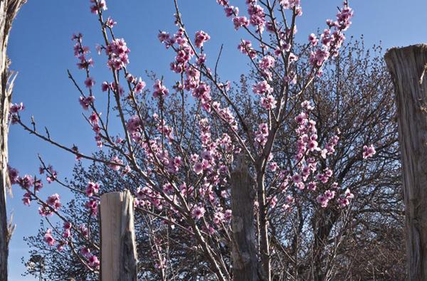 peach blossoms spring nm