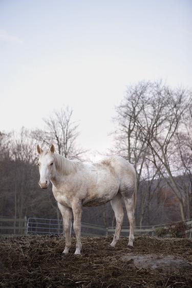 premarin horse