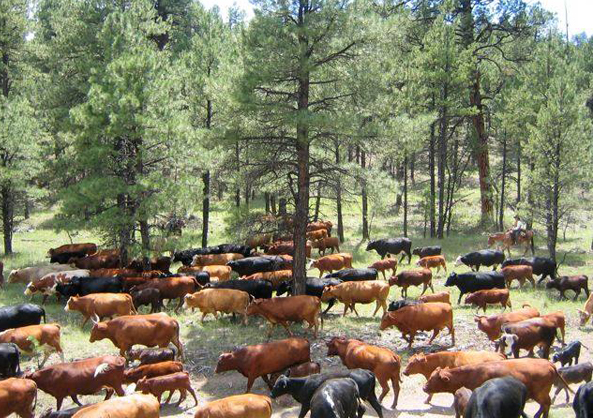cattle drives nm