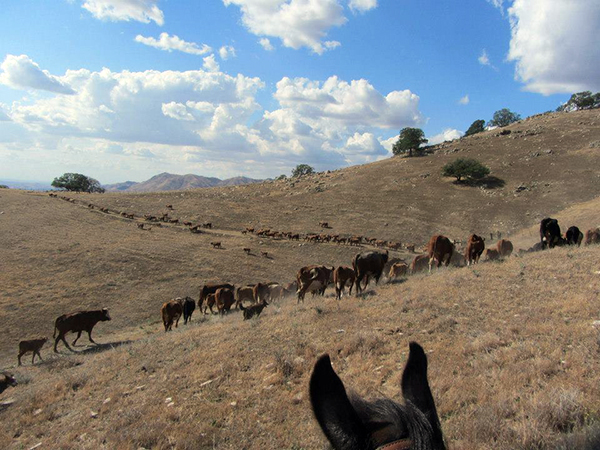 rankin ranch moving cows