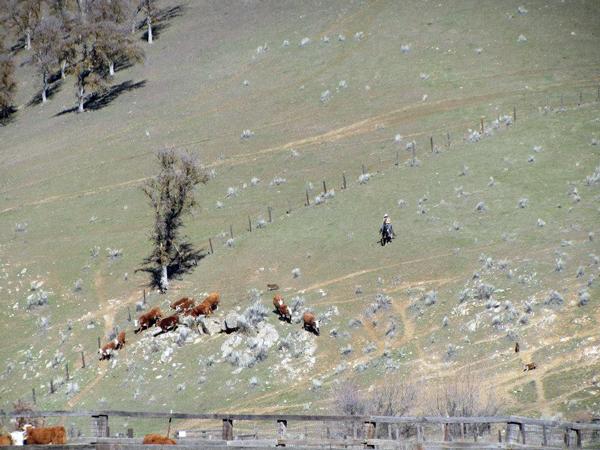 rankin ranch cattle work