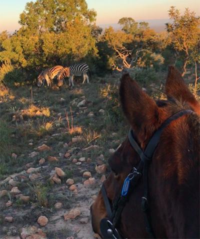 horse safari zebras africa