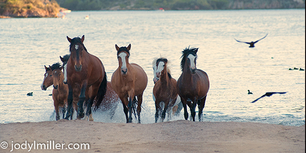 Salt River wild horses Arizona