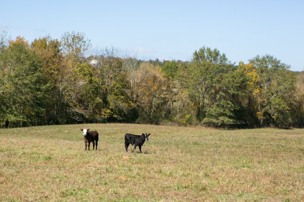 two calves in pasture shel clair farms