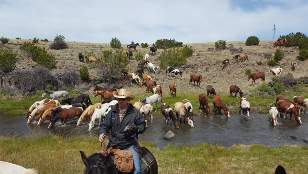 the horses cross and are drinking from the Little Colorado River in Arizon, all hosted by the Sprucedale Guest Ranch