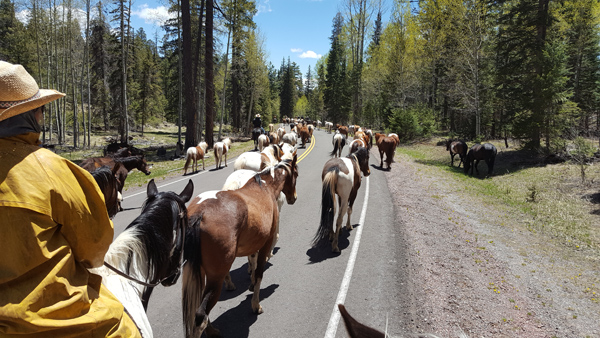 The horses being driven on a freeway in Arizon as seen on horseback hosted by the Sprucedal Guest Ranch