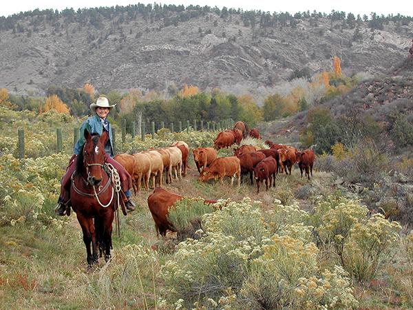 sylvan dale guest ranch cattle drive