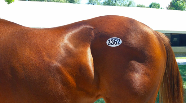 thoroughbred hip number