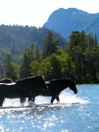 horses swimming at Tsylos Park Lodge, BC