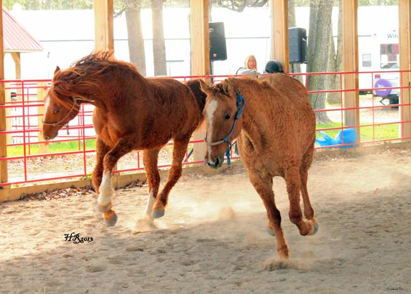 American Bashkir Curly Horses coat fur