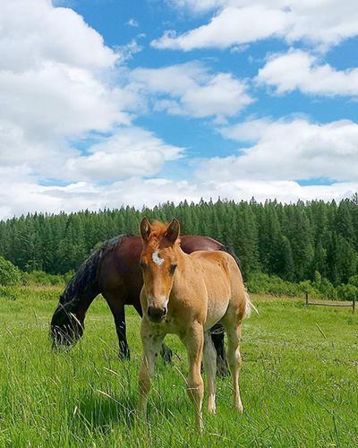 Western Pleasure Ranch foals
