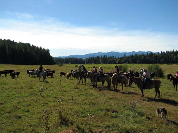 western pleasure guest ranch cows