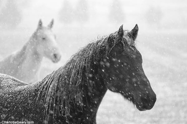 horses in the snow photos