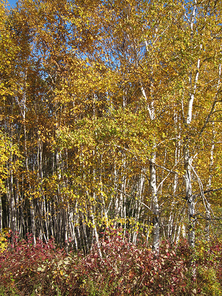 white birch trees in northern maine
