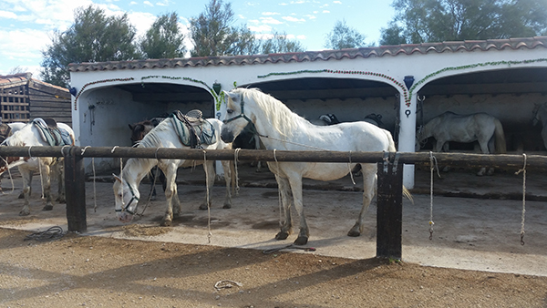 white horses at tamaris stables in camargue france
