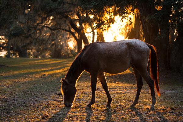 wild horse grazing at sunset cumberland island georgia