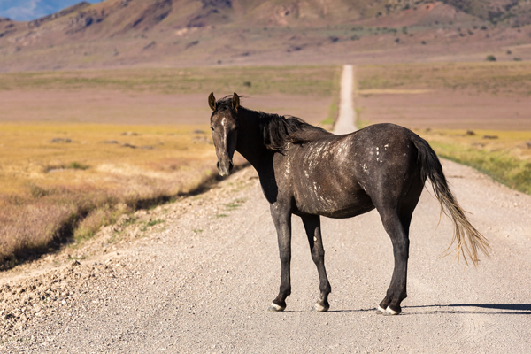 wild horse standing in the road in utah