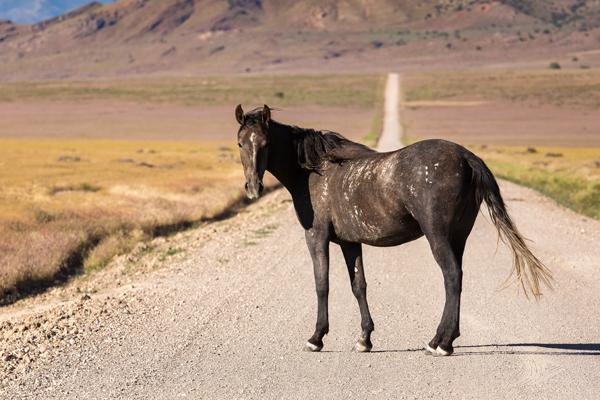 wild horse standing in the road in utah