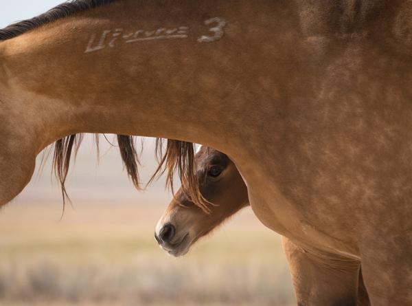 newborn foal hides behind its mother wild horses utah
