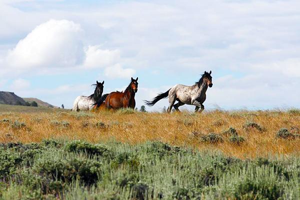 Wild Horses Wyoming