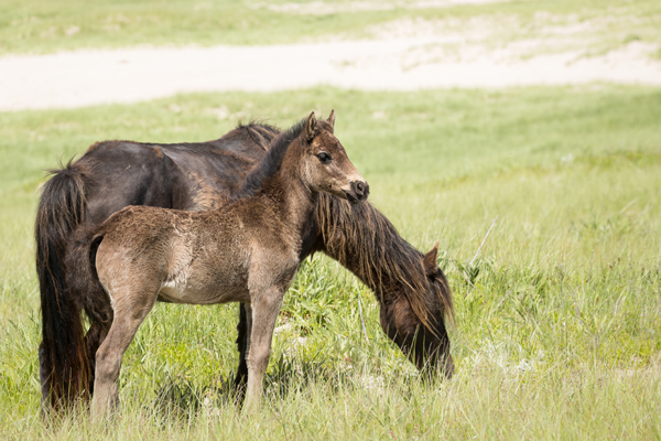 wild stallion standing with foal sable island nova scotia canada