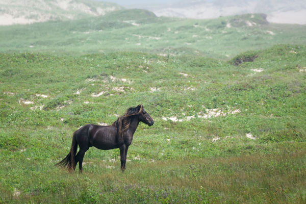 wild stallion standing in the mist sable island nova scotia canada