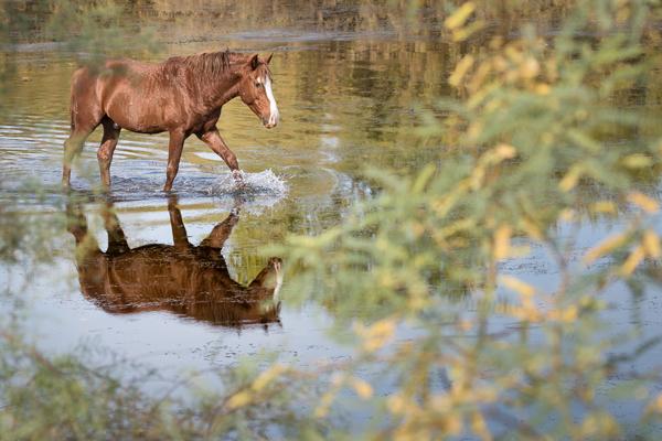 wild horse walks through creek in tonto national forest arizona