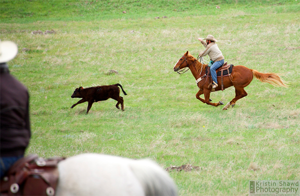 wrangler calf colorado cowboys