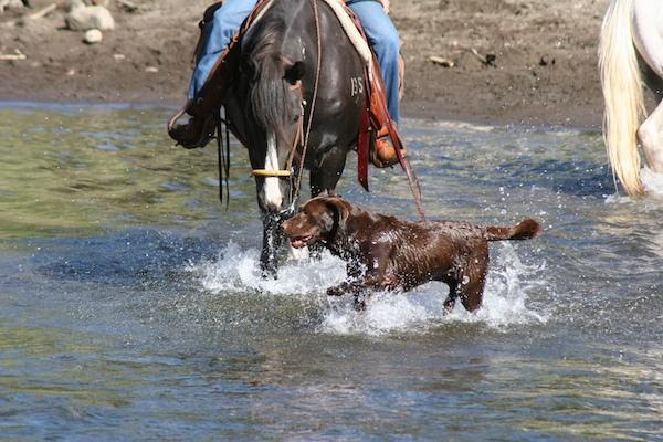 Labrador Retriever on Wyoming Ranch