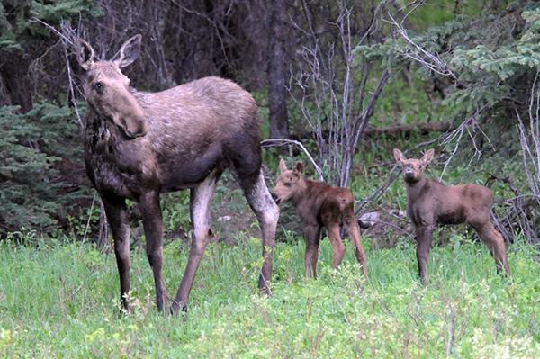 yellowstone wildlife moose