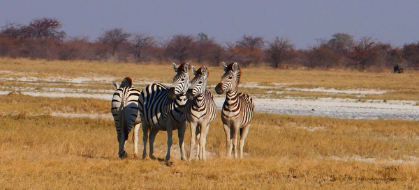 zebras spotted on safari in botswana